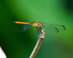 Yellow-Dragonfly-0311.jpg (1024×819)