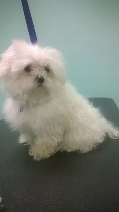 Before makeover - at The UpScale Tail, Pet Grooming Salon, Naperville. www.theupscaletail.com