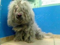 BABIE is an adoptable Poodle Dog in Brooklyn, NY.  ... Could someone please adopt this precious dog or foster him?  He needs a forever family.