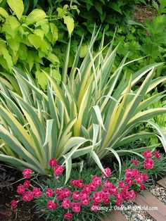 Variegated sweet iris (Iris pallida 'Variegata') with 'Rosish One' cottage pink (Dianthus) [Nancy J. Ondra/Hayefield.com]