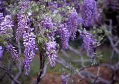 Japanese wisteria (Wisteria floribunda): lush, purple #flower blooms in #spring on this climbing plant. A long, woody #vine that twines clockwise. Mid-to-large growth range. Beautiful on a pergola: http://pinterest.com/pin/49833398/