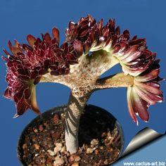New Fresh Seeds Cactus Rebutia Variety Flowering Color Cacti Rare Cactaceae  Office Mini Plant Succulent bonsai gift fb24c8858