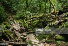 Stockfoto : Rainforest path covered with moss, Yakushima