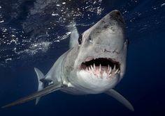 Photographer becomes focus of large and ferocious mako shark by Sam Cahir