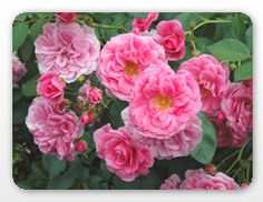Felix Leclerc -  Singer/songwriter Felix Leclerc's rose is a hardy climber, covering itself in multiple clusters of vivid pink blooms once it has established itself. It also doesn't overtake a trellis; it is very well behaved!