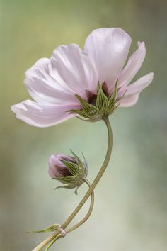 Cosmos Art Print by Mandy Disher | Society6