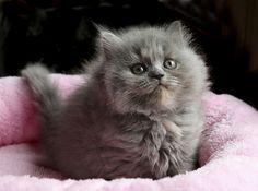 British longhair :)