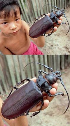 Titan Longhorn Beetle:  Found in South America, this massive creepy-crawler is one of the world's largest known beetles! The Titans can grow up to 6.5 inches long & inhabit the rain-forests of Venezuela, Colombia, Ecuador, Peru, the Guianas and North Central Brazil.