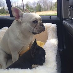 French Bulldogs on a Car ride.