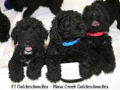 goldendoodles goldendoodle black puppies for sale English Goldendoodle breeder florida