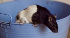 anti rats pi ge et r pulsif rats and bricolage. Black Bedroom Furniture Sets. Home Design Ideas