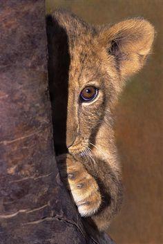 Een Lion Cub Plays verstoppertje Wildlife Rescue Print door Dave Welling