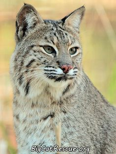 The bobcats in the North tend to be larger than those in the south.