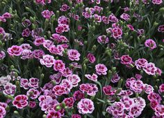 'Pink Kisses' has pink, double flowers with red markings at the base of the petals and green-grey foliage. It is compact, evergreen and easy to grow. Pink Dianthus, Plants, Fall Flowers, Carnations, Flowers Perennials, Dianthus Perennial, Dianthus Flowers, Dianthus Caryophyllus, Flowers