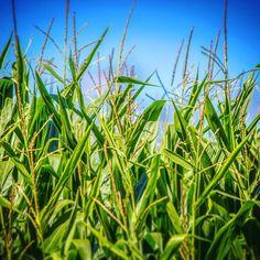 #FutureNachos #cornfield #ontheroad #ontario