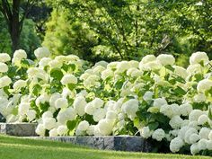 Traditional Landscape Design, Pictures, Remodel, Decor and Ideas ouahhh beautiful hydrangeas blanches **+ Hydrangea Landscaping, Plants, Annabelle Hydrangea, White Gardens, Luxury Garden, Country Landscaping, French Country Garden, Country Garden Decor, Beautiful Gardens