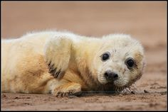 Grey Seal | Wildlife