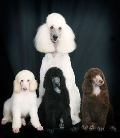 Standard Poodle #Puppy #Dogs