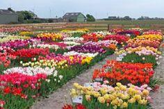 Auf Blumenzwiebeltour durch die Niederlande - Fluwel's Tulpenland