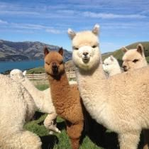 Alpaca Experience Akaroa | Akaroa – New Zealand #GreatFoodRace