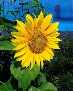 sunflower real-flowers