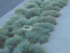 Blue fescue lawn