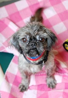 Molly is a 2 year old, 8lb. Shih Tzu. Miss Molly was given up by her former family because they were not able to provide her the care she needs.  Molly was so badly matted that the folks at animal control took her to a groomer to get all her matted hair shaved away.
