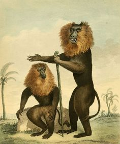 Lion Tailed Monkeys, engraving by C.R. Ryley c.1794.