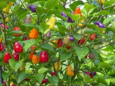 'Chinese Five Colour' Hot Peppers