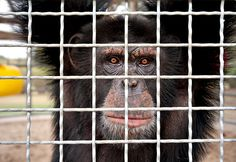 Primates in the Lab: Debating the Use of Chimpanzees in Medical Research