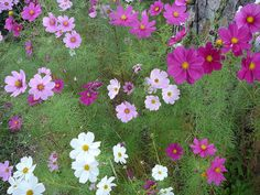 Cosmos --one of my favorites for their brilliant PINK colors!!