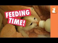 It's Dinner Time for 2 Week Old Bottle Baby Kittens ! - We Love Cats and Kittens