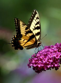 A swallowtail butterfly takes in the nectar of a butterfly bush. (July 22, 2007)  Credit Newsday / Michael E. Ach