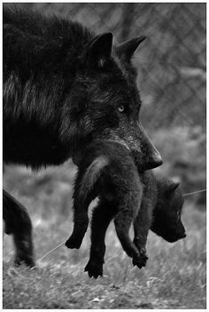 Momma moving her wolf pup!