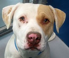 LV, NV. *FREDRIKEO-ID#A700974:  Shelter staff named me FREDRIKEO.  I am a male, white and tan Pit Bull Terrier.  The shelter staff think I am about 2 years and 2 months old.  I have been at the shelter since Feb 23, 2013.  For more information about this animal, call: The Animal Foundation - Las Vegas at (702) 384-3333 ext: 131. Ask for information about animal ID number A700974