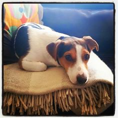 Gismo, Jack Russell Terrier