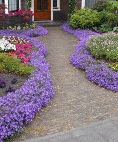 Bellflower   Plants from Bakker Spalding Garden Company {10 plants £10}