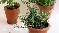 Grow These 10 Important Medicinal Herbs in Your Organic Garden