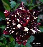 black dragon rose bush for sale - Bing Images