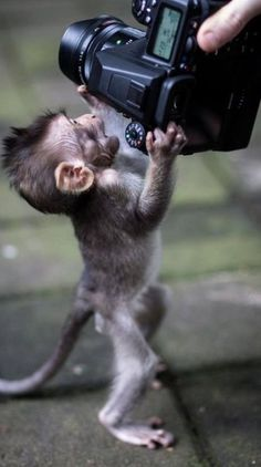 by Carlotta Rebonato Baby monkey attack ! by Carlotta Rebonato Baby Animals Super Cute, Cute Little Animals, Cute Funny Animals, Funny Monkeys, Primates, Cute Baby Monkey, Pet Monkey, Finger Monkey Baby, Small Monkey