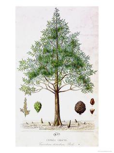 Louisiana State Tree