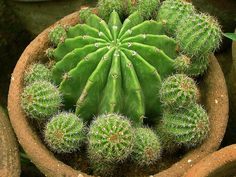 .- cactus plants, begin again, cacti, colors, decorating ideas, fiesta, flower, anemones, themed parties