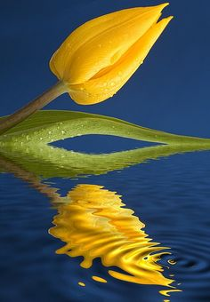 ~~A Yellow Tulip Reflected in Water by John Short~~