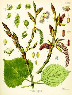 A faj kettős latin neve: Populus × euramericana Magyar név: kanadai nyár Család: Salicaceae  Rend: Malpighiales Életforma: MM Termés: tok