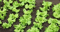 Everything you need to know about growing lettuce.
