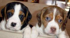 Blue eyed beagles. Oh My!