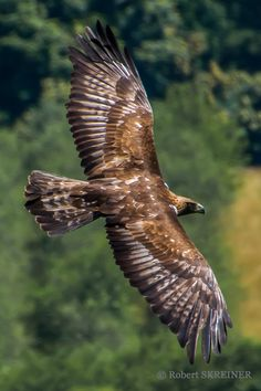 The Golden Eagle (Aquila chrysaetos) is togeher with the peregrine falcon one of the two fastest birds and animals in the world. Wingspan 1.80 - 2.80 m.  When diving for prey it can reach 240 - 320 km/h (150 - 200 mph)    - via Robert SKREINER's photo on Google+
