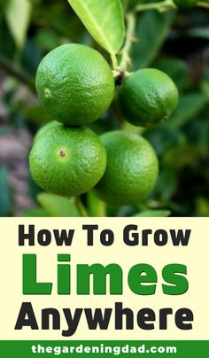 Are you interested in learning how to grow lime trees? Then read this article for 10 EASY Tips on How to Grow Lime Trees in Pots! Home Vegetable Garden, Fruit Garden, Edible Garden, Garden Plants, Citrus Garden, Pot Plants, Fruit Plants, Garden Trees, Growing Fruit Trees