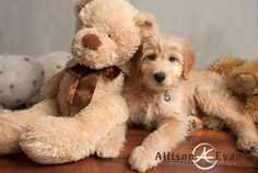 Miniature F1b Goldendoodle. F1b mini goldendoodle puppies are a cross between an F1 miniature goldendoodle and miniature poodle. We expect most of our F1b miniature golden doodle puppies to reach an average range of 15-30 lbs, but we cannot guarantee the size of any mini golden doodle puppy.