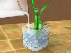 How to Grow Lucky Bamboo. Lucky bamboo is an easy-to-care-for houseplant that grows well in low, indirect light. This plant, which isn't really bamboo at all, but instead is a type of tropical water lily called Dracaena sanderiana, is from. Chinese Bamboo Plant, Indoor Bamboo Plant, Bamboo Plant Care, Lucky Bamboo Plants, Bamboo Garden, Indoor Plants, Water Plants, Cactus Plants, Aquaponics
